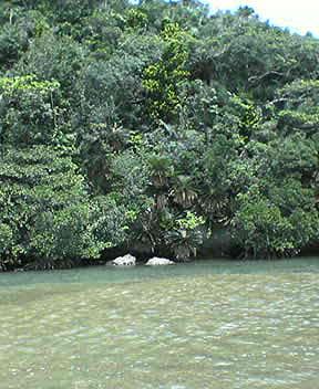 河口のジャングル